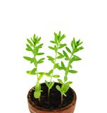 Sprouts of linen (lat. Linum usitatissimum) in pot. Royalty Free Stock Photography