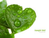 Sprouts mandarin Royalty Free Stock Image