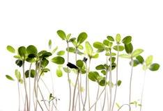 Sprouts novos Fotografia de Stock