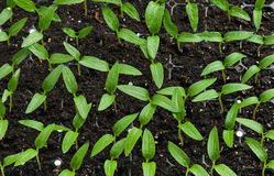 Sprouts novos Imagem de Stock