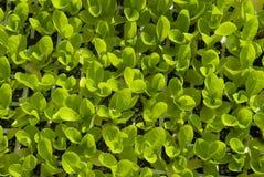 Sprouts novos da alface vistos de acima Imagem de Stock