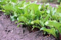 Sprouts novos da beterraba fotografia de stock royalty free