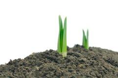Sprouts novos de um snowdrop Imagem de Stock Royalty Free