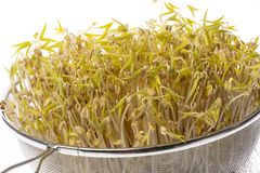 Sprouts Of Mung Beans Stock Photo