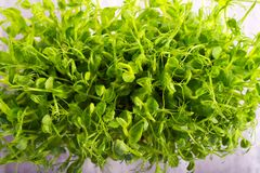 Sprouts of peas vegetable, microgreen stock photography