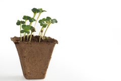 Sprouts in a peat pot with earth, the beginning of a new life. Royalty Free Stock Image