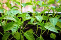Sprouts of pepper, close-up spring seedlings on windowsill royalty free stock images