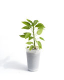 Sprouts pepper in white Cup stock photos