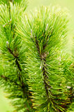 Sprouts of pinus mugo Stock Images