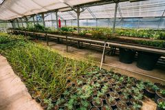 Sprouts Of Plants And Trees Growing From Soil In Pots In Greenhouse stock photos