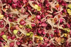 Sprouts of radish - closeup view. Colorful and healthy radish sprouts - closeup view Stock Photo