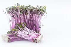 Sprouts red cabbage on  white background Royalty Free Stock Photos