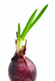 Sprouts of red onion Royalty Free Stock Images