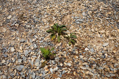 Sprouts on the rocks. Plants growing on the gravel Stock Images