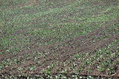 Sprouts in rows on the field in summer royalty free stock images