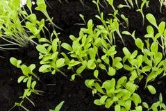 Sprouts saladas no solo Imagem de Stock Royalty Free