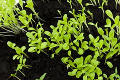 Sprouts salads in soil. Germinating shot Royalty Free Stock Image