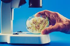 Sprouts seeds in a Petri dish under microscope royalty free stock images