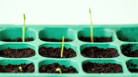 Sprouts-timelapse stock footage