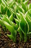 Sprouts Variegated do Hosta que emergem na mola Fotografia de Stock Royalty Free