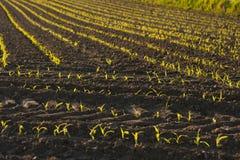 Sprouts verdes Fotografia de Stock