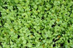 Sprouts verdes fotografia de stock royalty free