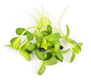 Sprouts verdes do girassol Fotografia de Stock