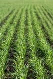 Sprouts verdes do trigo novo Foto de Stock