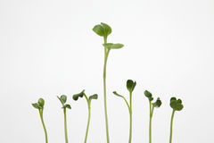 Sprouts on white background Royalty Free Stock Photo