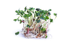 Sprouts on white background. Sprouts of radish isolated on white background Royalty Free Stock Images