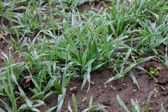 Sprouts of winter wheat Royalty Free Stock Photo