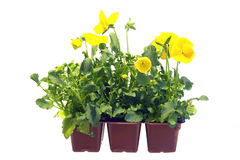 Sprouts of yellow pansy Stock Images