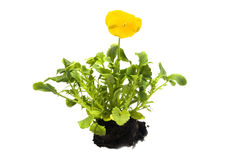 Sprouts of yellow pansy Royalty Free Stock Photo