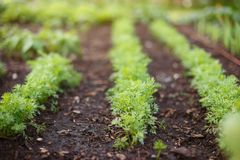 Sprouts of young carrots grow on a garden bed. stock photography