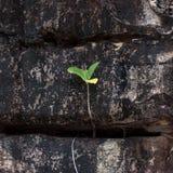 Sprössling des troical Baums groing im Felsen Stockfoto