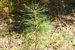 spruce Foto de Stock Royalty Free