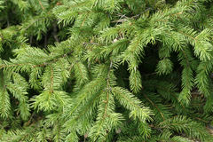 Spruce. The green twig of the spruce Royalty Free Stock Photography