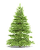 Spruce Royalty Free Stock Photo