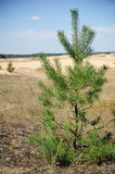 Spruce. Free-standing spruce in sand Stock Photography