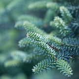 Spruce Royalty Free Stock Image