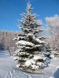 spruce Royaltyfria Foton