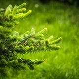 spruce Immagini Stock