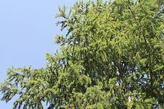 spruce Fotografia de Stock