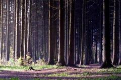 spruce Immagine Stock