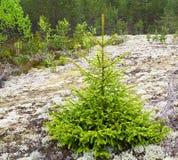 spruce Arkivbilder