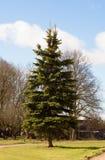 spruce Royaltyfria Bilder