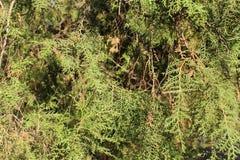 spruce Imagens de Stock Royalty Free