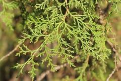 spruce Imagens de Stock