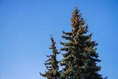 spruce Fotografia Stock