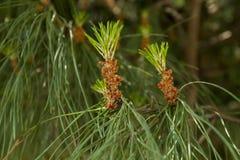 spruce Imagem de Stock